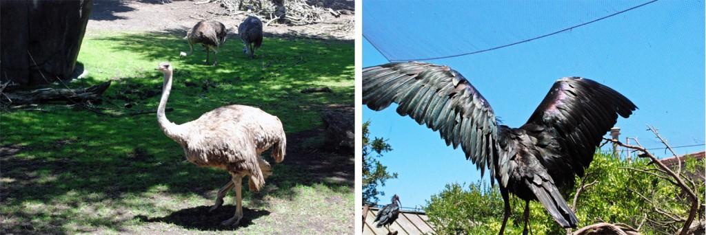 ostrich-ibis